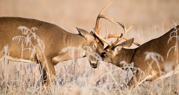 featured-bucks-found-entangled-620x330